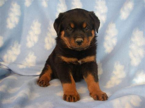 labrador cross rottweiler for sale labrottie puppies for sale lab rottie puppy dogs labs and puppys