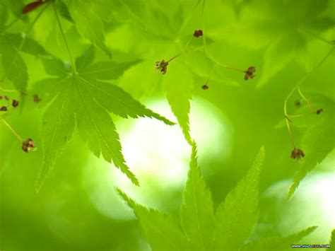 green japanese wallpaper green japanese maple green japanese maple leaves nature