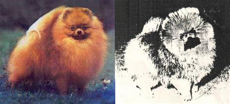 pomeranian stage pomeranian puppy uglies stages