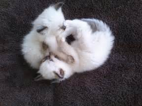 Ragdoll kittens for sale ragdoll breeder texas jamilas ragdolls