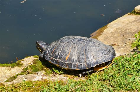 do turtles need heat ls encouraging red eared slidesr to bask