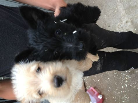 scottie puppies for sale scottie pups for sale scottish terrier for sale breeds picture