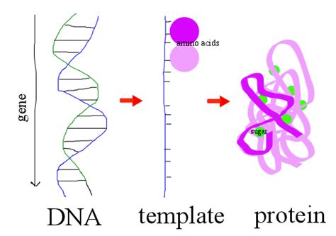 genes protein manufacturing machines geneticsfordummies