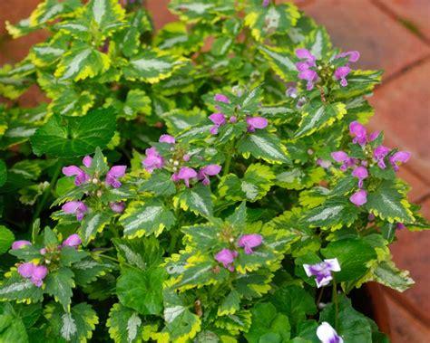 gardensonline lamium maculatum