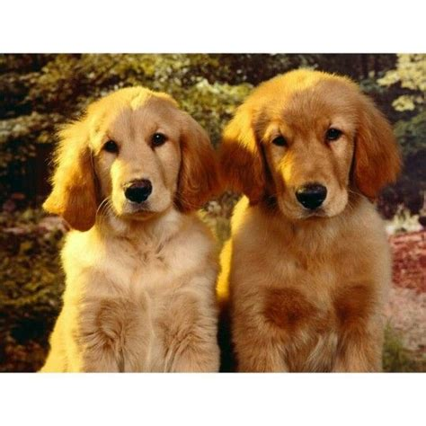 golden retriever rescue scotland 20 best guisachan gathering and house images on
