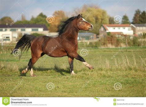 brown pony brown mountain pony stallion with black hair