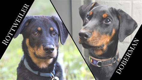 compare rottweiler and doberman rottweiler vs doberman pinscher barkblaster