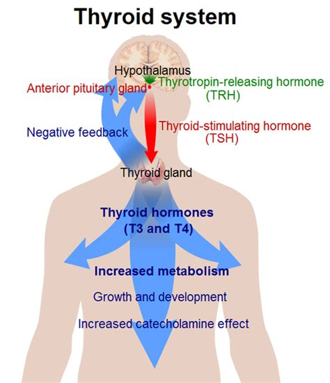 can thyroid problems cause mood swings thyroid hormone misunderstood regulator or the