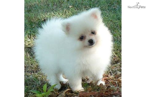pomeranian puppies for sale in ct meet ashton a pomeranian puppy for sale for 950 delivery ny nj ma pa nh ct