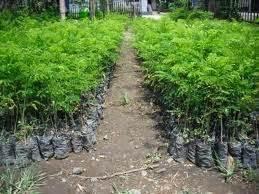 Bibit Pohon Sengon Jogja jarak tanam sengon jual kayu sengon berbagai ukuran dari pohon sengon berkualitas