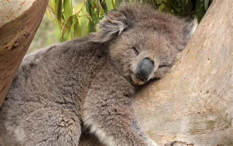 green koala wallpaper hd koala bear wallpaper download free 106837