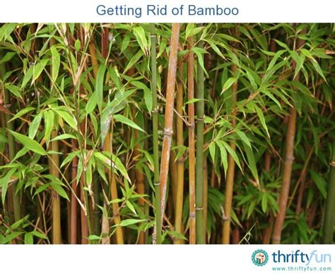 getting rid of bamboo thriftyfun