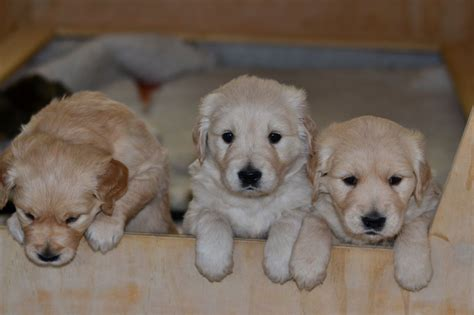 large golden retriever breeders golden retriever puppies oswestry shropshire pets4homes