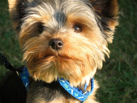 yorkie puppy pictures free terrier free stock photo domain pictures