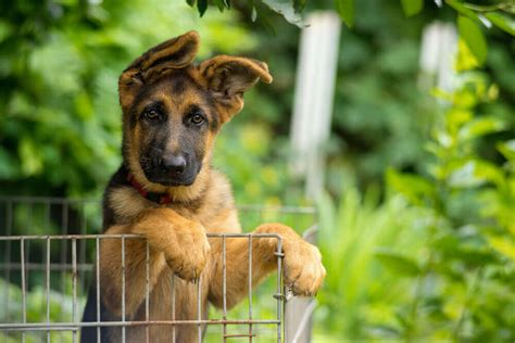 how to care for a german shepherd puppy adopting german shepherd puppies everything you need to