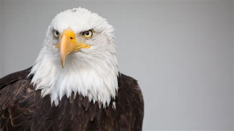 wallpaper 4k eagle top bald eagle wallpapers wallpapers