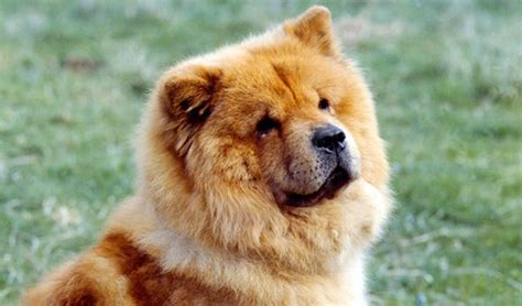 dogs that look like 10 breeds of dogs that looks like bears or teddy bears