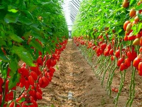 Plantation House Plans by How To Start Tomato Farming In Nigeria Detail Report