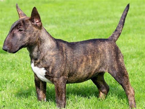 miniature bull terrier puppies for adoption search locally for bull terrier puppies and dogs nearest you freedoglistings