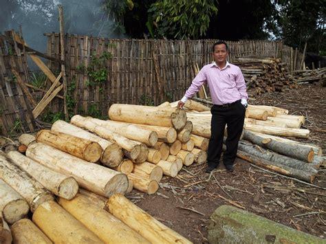 Harga Bibit Sengon 1 Meter investasi perkebunan albasia sengon meika