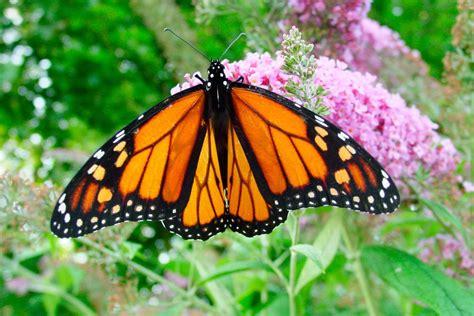 imagenes una mariposa galer 237 a de im 225 genes mariposas venenosas