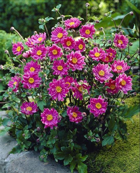 Pink Spring Flowering Shrubs - anemone hupehensis japonica pamina windflower