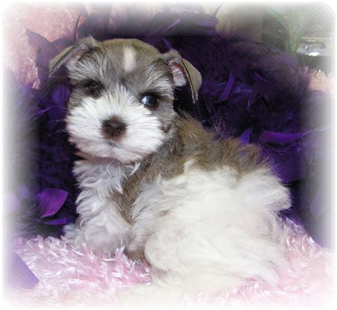 teacup schnauzer puppies teacup and miniature schnauzer colors