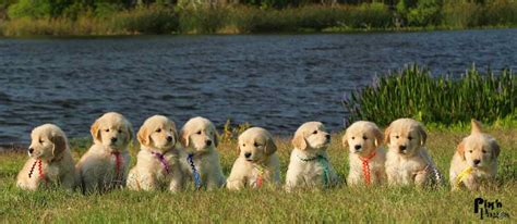 gemini golden retrievers gemini golden retrievers home page