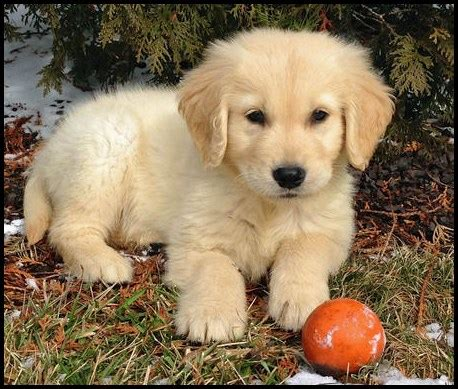 pennsylvania golden retrievers golden retriever escaparatedemascotas