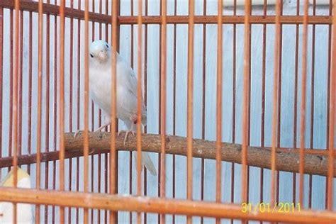 Salep Betason asep arifin mansur kaki bengkak pada burung kenari