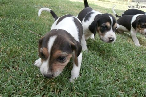 treeing walker coonhound puppies for sale treeing walker coonhound for sale for 250 near wichita kansas f21aa053 2231
