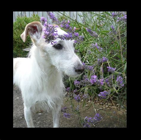 lavender on dogs dc lavender by disperate cat on deviantart