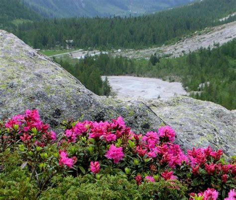 fiori di rododendro himalaya rododendri in fiore con un mese di anticpo