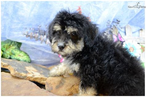puppy finder illinois shepadoodle puppy for sale near southern illinois illinois 45161fd1 9721