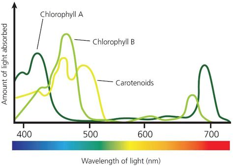 chlorophyll absorbs light well in the food supply plant growth and productivity the a level