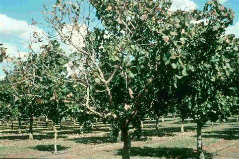 fruit trees adelaide atlas of plant pathogenic bacteria appb fruit trees