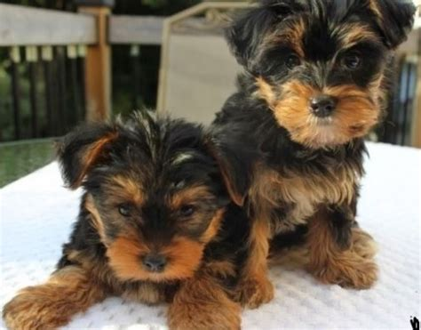 are teacup yorkies hypoallergenic teacup yorkie
