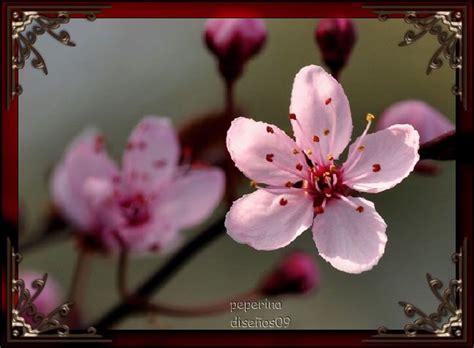 imagenes flores de cerezo 301 moved permanently