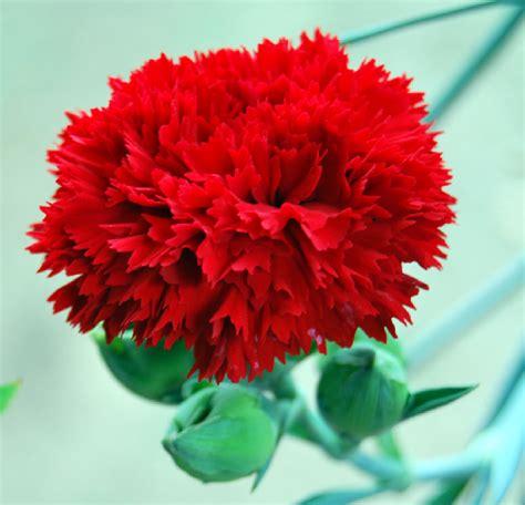 imagenes de un flores fotos de flores claveles de varios tipos y colores