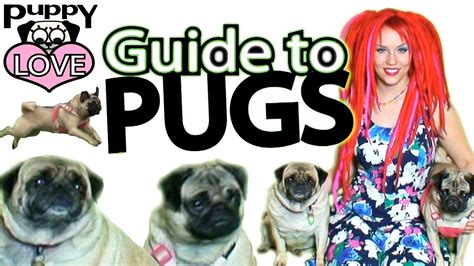 pug care guide guide to pugs pug care 101 page 2 of 2 pawbuzz