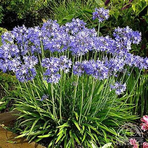 plant profile for agapanthus star quality lily of the nile perennial