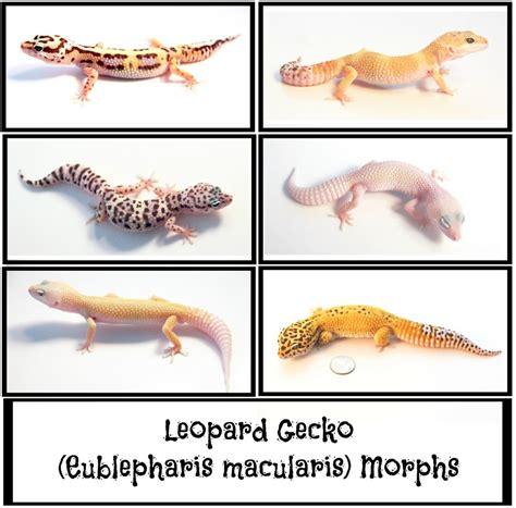color morph most popular leopard gecko morphs