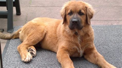 boxer golden retriever mix leonberger mischling mix