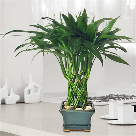 good house plant bamboo pillar tree arrangement lucky bamboo house