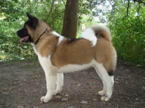 Dog Photo: American Akita dog
