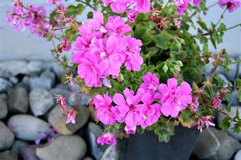 foto di vasi di fiori foto gratis geranio rosa vasi di fiori immagine