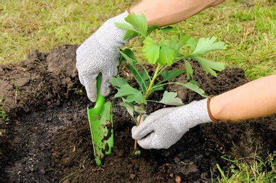 Garten Was Wann Pflanzen 4368 by Ginkgo Pflanzen Und Pflegen So Wird S Gemacht