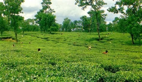 Ta Gardens by Beautiful Bangladesh Tea Garden