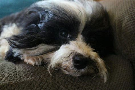 heavenly havanese currently available puppies heavenly havanese