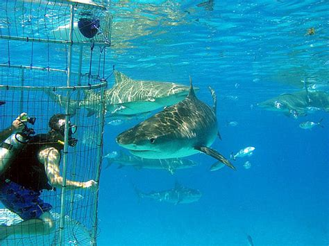 cage dive with sharks photos cage diving with sharks in the bahamas